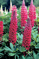 Lupinus 'Troop the Colour'